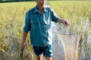 Nuôi cá trong ruộng lúa, chả phải cho ăn, 1 vụ lãi 40 triệu đồng