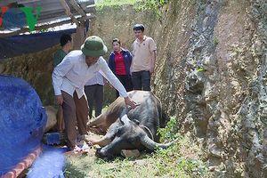 Trâu bò tại Nghệ An chết hàng loạt vì dịch tụ huyết trùng bùng phát