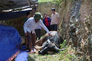 Nghệ An: Dịch tụ huyết trùng bùng phát, trâu bò chết hàng loạt