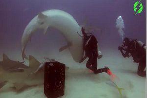 Ngỡ ngàng khoảnh khắc thợ lặn thôi miên cá mập hổ hung dữ