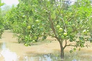 Xót xa cảnh hàng ngàn cây cam bị ngập chết úng vì nước lũ ở ĐBSCL