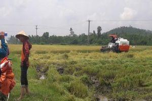 Hà Tĩnh: Lại xuất hiện bảo kê máy gặt lúa chặt chém nông dân mùa lũ