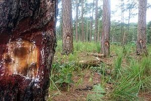 Cứu rừng thông bị đầu độc ở Lâm Đồng