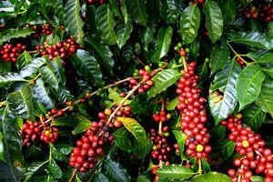 Giá cà phê hôm nay 12/9: Giảm 300 đồng/kg