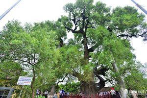 Ngắm cây dã hương nghìn năm tuổi độc nhất vô nhị của thế giới ở Việt Nam