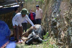 Thêm hàng chục con trâu bò bị chết do dịch tụ huyết trùng lây lan