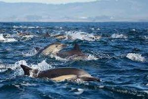 Choáng ngợp hàng nghìn con cá heo cùng nhau đi săn mồi