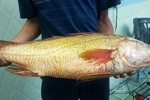 Liên tiếp bắt được cá sủ vàng giá tiền tỷ