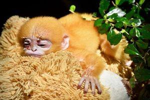 Xót xa chú khỉ mồ côi coi gấu bông như mẹ