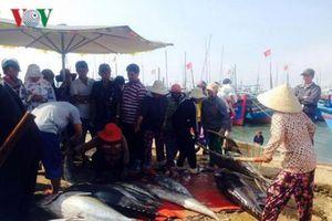 Đầu năm ngư dân Phú Yên trúng đậm cá ngừ đại dương