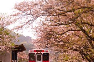Sakura một biểu tượng của sự sống, cái chết và hồi sinh của người Nhật Bản