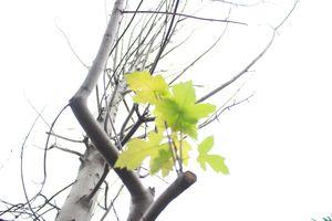 Hàng phong lá đỏ trên phố Hà Nội nhú những chiếc lá đầu tiên
