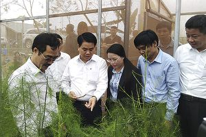 Hà Nội xây dựng thương hiệu măng tây Phú Xuyên xuất khẩu