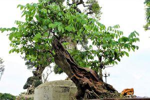 Gốc sưa đỏ bonsai trăm tuổi có gì 'hot' mà đội giá lên 1,4 tỷ đồng?