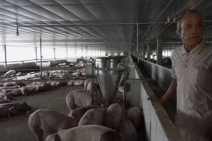 Đại Lộc (Quảng Nam): Một trang trại nuôi heo 'chui' quy mô lớn ngay cạnh QL14B