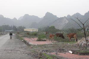 Quảng Ninh: Khu tái định cư tiền tỷ do Công ty than Núi Béo đầu tư xây dựng trở thành nơi...chăn bò