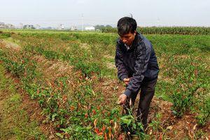 Thanh Hóa: Liên tiếp những vụ phá hoại hoa màu bằng thuốc diệt cỏ