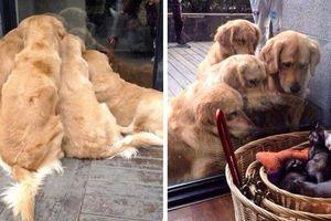 20 hình ảnh minh chứng Retriever là giống chó 'cưng nhất quả đất'