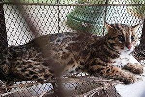 Lão nông Huế bẫy trúng cá thể động vật nghi mèo rừng quý hiếm