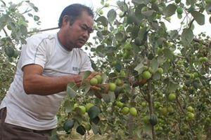 Trên vùng đất lửa, trồng sắn lỗ 1 tỷ, trồng táo ngọt lãi 400 triệu