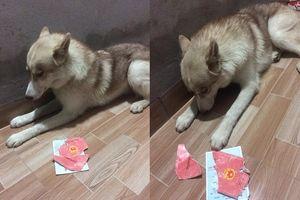 Chú chó Husky cắn rách hết sổ hộ khẩu của 'sen' chỉ vì lý do 'củ chuối' này!