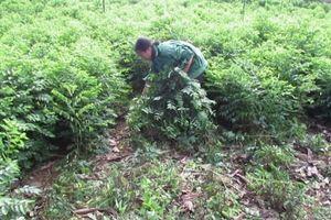 Kỹ thuật trồng rau ngót hiệu quả cao mang lại kinh tế ổn định cho gia đình