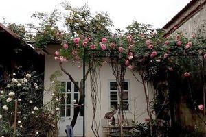 Ông bố trẻ phá tan sân bê tông để trồng vườn hồng
