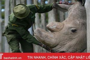 Con tê giác trắng phương Bắc đực cuối cùng trên thế giới qua đời