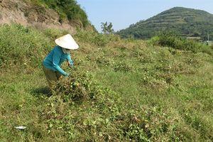 Hiệu quả trồng đậu đỏ trên đất xấu