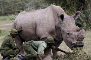 Sau Sudan, nỗ lực tái sinh loài tê giác trắng châu Phi?