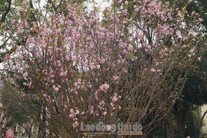 Hoa anh đào Nhật Bản rực hồng trong nắng Hà Nội