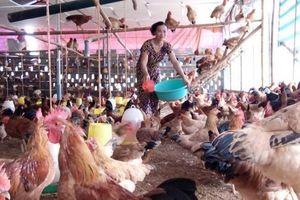 Gà đồi Hương Nhượng, thương hiệu gà sạch của Lạc Sơn