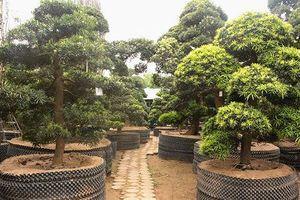 Vườn Tùng La Hán 'có một không hai' ở Việt Nam