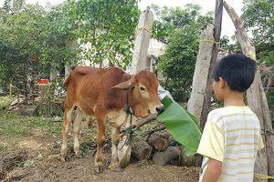 Xử lý nghiêm vụ 'dân tố cán bộ xã nhận bò giống rồi đem bán cho lò mổ'