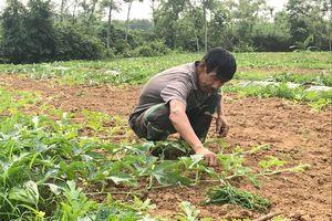Nghệ An: Nông dân sang Thanh Hóa thuê đất trồng dưa hấu