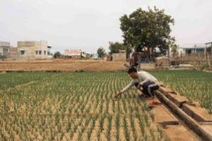 Nông dân Ninh Thuận khốn đốn vì nước tưới và đất bị nhiễm mặn