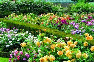 Tuyệt chiêu ghép hoa hồng nhiều màu đẹp rực rỡ bằng kỹ thuật đơn giản