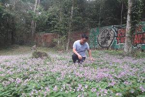 Vẻ đẹp cuốn hút thung lũng Chắt Dậu mùa hoa me đất