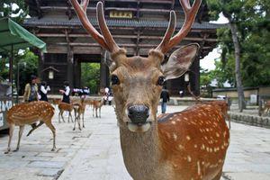 Công viên Nhật cảnh báo hàng trăm vụ nai cắn người