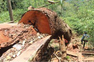 Nam Giang, rừng lim trăm tuổi bị hạ sát