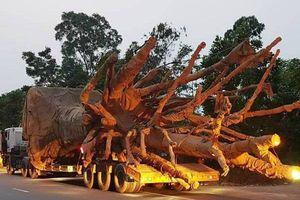 Vụ vận chuyển 3 cây gỗ 'khủng' trái phép: Kiểm lâm vào cuộc điều tra