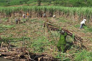 Người dân Ninh Thuận phá bỏ cây mía vì lợi nhuận thấp