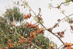 Chùm ảnh: Nao lòng sắc hoa gạo đỏ rực trời thương nhớ tháng Ba Hà Nội