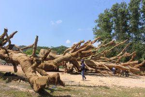2 trong số 3 cây đa khổng lồ chở ra chùa ở Hà Nội?
