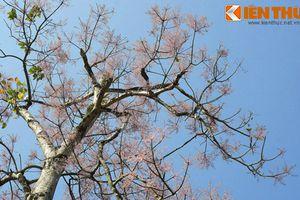 Ngẩn ngơ ngắm sắc hoa ngô đồng hồng rực Hoàng thành Huế