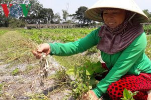 Trồng nén trên đất cát giúp nông dân Quảng Trị thu 200 triệu mỗi ha