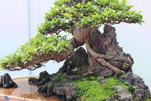 Chiêm ngưỡng dàn bonsai đẹp kiệt xuất trên đất Yên Tử