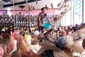 Lãi ròng 600 triệu/năm từ nuôi gà thả tự nhiên