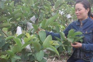 Mẹ bỉm sữa 8X tiên phong trồng cây ăn quả trên đất cằn