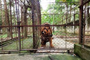 Vì sao kiểm lâm không tịch thu 11 con hổ ở trại nuôi hết phép?